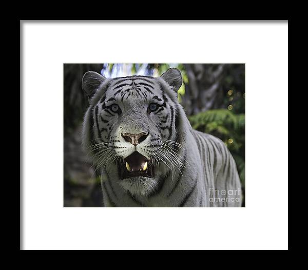 Tigers Framed Print featuring the photograph Me by Ken Frischkorn
