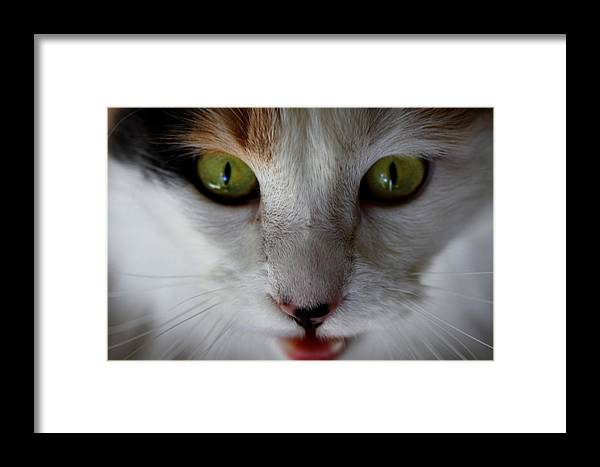 Meeko Framed Print featuring the photograph Meeko Up Close by Gregory Payne