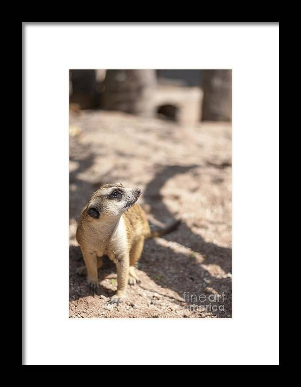 Meerkat Framed Print featuring the photograph Meerkat by Panai Thanacharoenyada