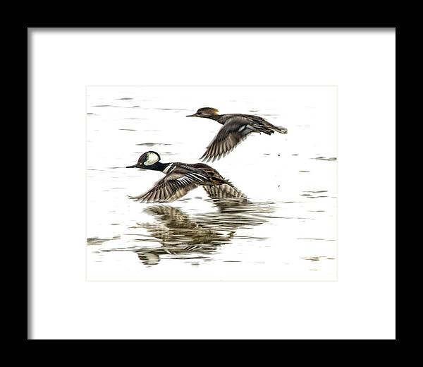 Mergansers Framed Print featuring the photograph Mergansers In Flight by Constantine Gregory
