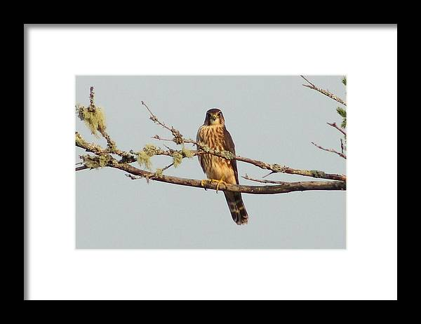 Merlin Framed Print featuring the photograph Merlin by Liam Brennan