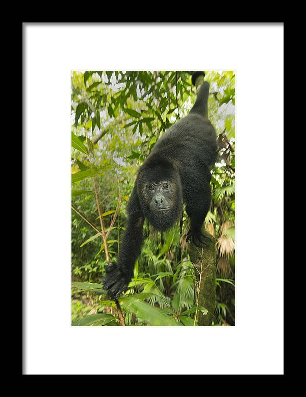 Kevin Schafer Framed Print featuring the photograph Mexican Black Howler Monkey Belize by Kevin Schafer