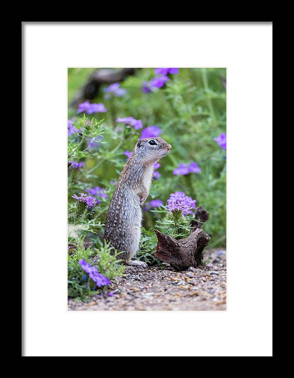 Danita Delimont Framed Print featuring the photograph Mexican Ground Squirrel In Wildflowers by Larry Ditto