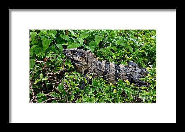 Mexican Framed Print featuring the photograph Mexican Spinytailed Iguana by Rebecca Morgan