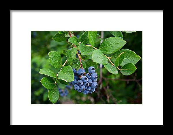 Blueberry Framed Print featuring the photograph Michigan Blueberries by Maria Dryfhout