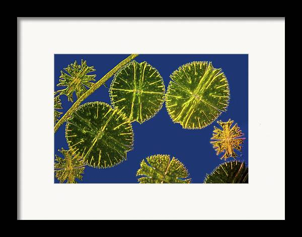 Algae Framed Print featuring the photograph Micrasterias Desmids, Light Micrograph by Science Photo Library