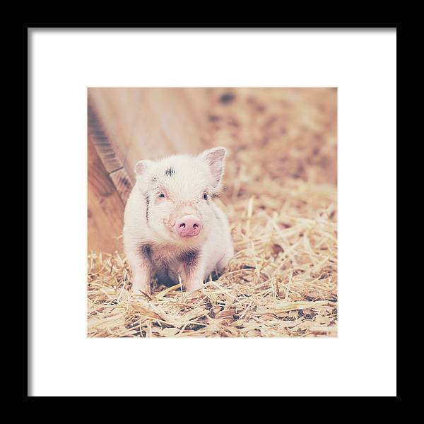 Pig Framed Print featuring the photograph Micro Pig by Samantha Nicol Art Photography