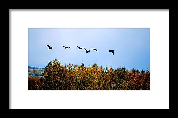 Geese Framed Print featuring the photograph Migratory Flight by Kathy Sampson