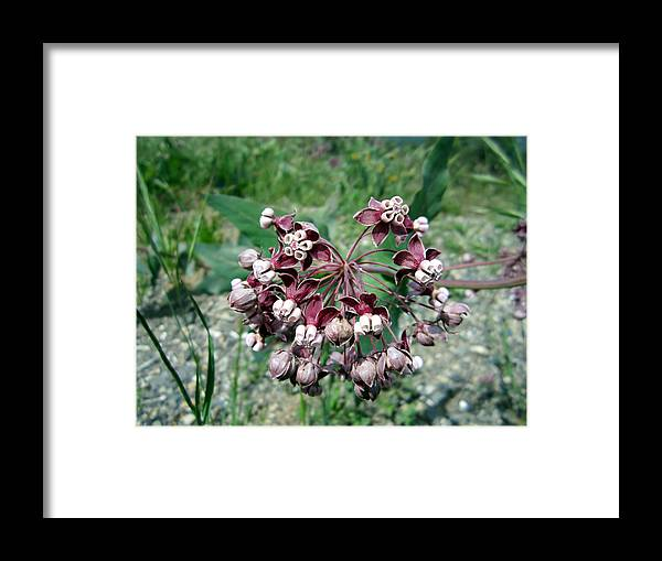 Milkweed Framed Print featuring the photograph Milkweed by Chris Gudger