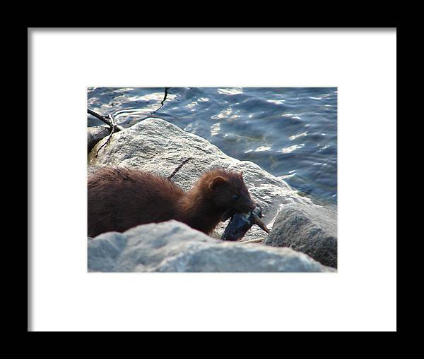American Mink Framed Print featuring the photograph Mink with a Round Goby by Randy J Heath