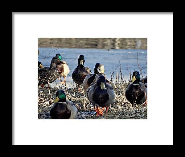 Ducks Framed Print featuring the photograph Mixed by Scott B Bennett