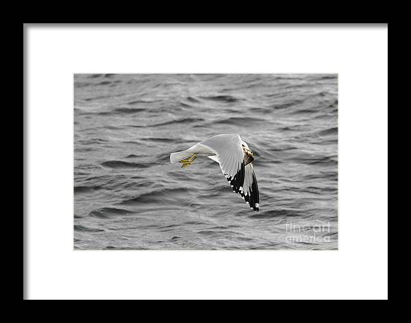 Gull Framed Print featuring the photograph Mmm Dinner by Robert Smice