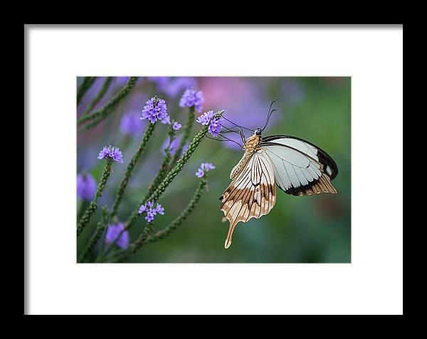 Mocker Swallowtail On The Blue Vervain Framed Print