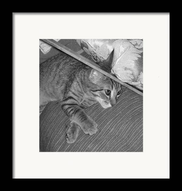 Kitten Framed Print featuring the photograph Model Kitten by Pharris Art
