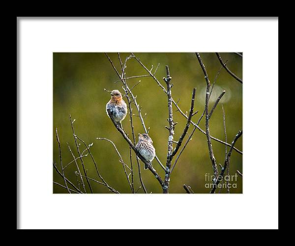 Bluebird Framed Print featuring the photograph Momma Bluebird And Baby by Cheryl Baxter