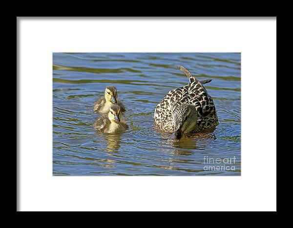 Mallard Framed Print featuring the photograph Momma Mallard And Her Ducklings by Sharon Talson