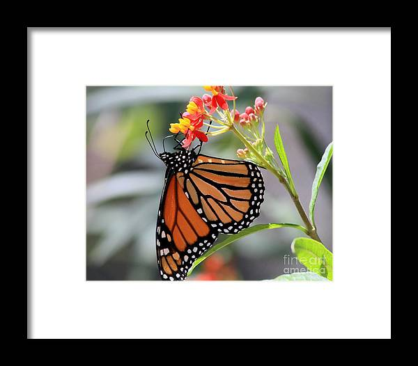 Texas Framed Print featuring the photograph Monarch by Ashley M Conger