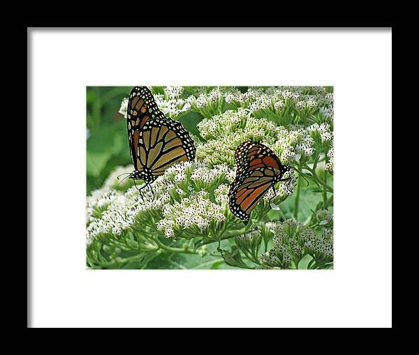 Butterfly Framed Print featuring the photograph Monarch Butterfly 57 by Pamela Critchlow
