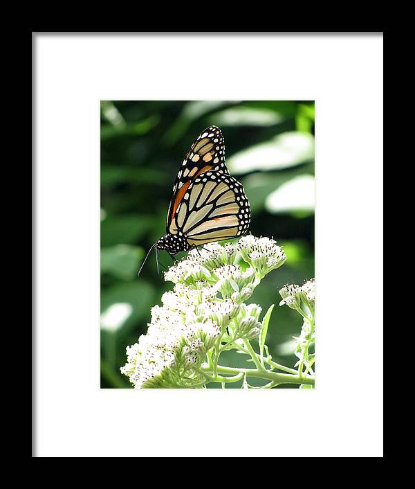 Butterfly Framed Print featuring the photograph Monarch Butterfly 58 by Pamela Critchlow