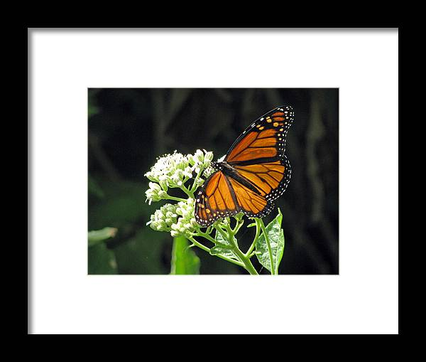 Butterfly Framed Print featuring the photograph Monarch Butterfly 59 by Pamela Critchlow