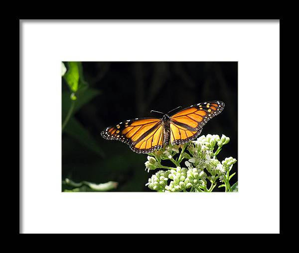 Butterfly Framed Print featuring the photograph Monarch Butterfly 61 by Pamela Critchlow