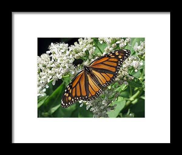 Butterfly Framed Print featuring the photograph Monarch Butterfly 62 by Pamela Critchlow