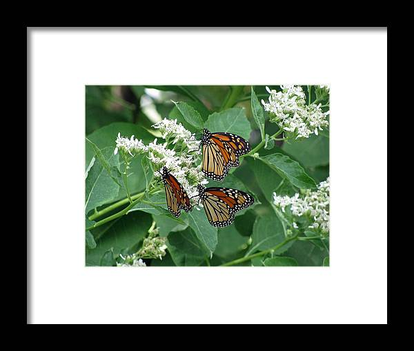 Butterfly Framed Print featuring the photograph Monarch Butterfly 64 by Pamela Critchlow
