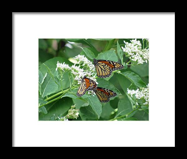 Butterfly Framed Print featuring the photograph Monarch Butterfly 65 by Pamela Critchlow
