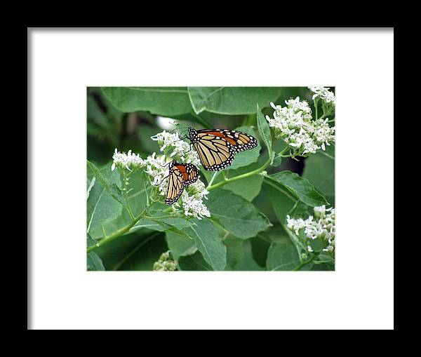 Butterfly Framed Print featuring the photograph Monarch Butterfly 67 by Pamela Critchlow