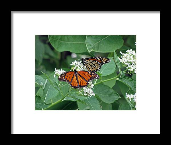 Butterfly Framed Print featuring the photograph Monarch Butterfly 69 by Pamela Critchlow