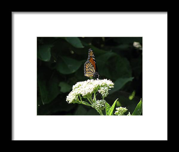 Butterfly Framed Print featuring the photograph Monarch Butterfly 71 by Pamela Critchlow