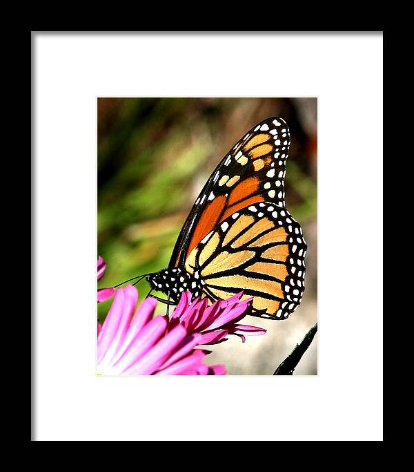 Butterfly Framed Print featuring the photograph Monarch Butterfly by Christian Anderson