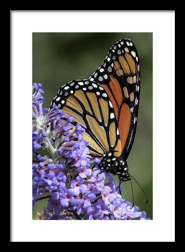 Monarch On Butterfly Bush~limited Addition 2 Of 10- Monarch Print- Bright Colors- Purple Flowers- Orange Butterfly- Black And White Colors- Greens- Framed Print featuring the photograph Monarch On Butterfly Bush-edition 3 Of 40 by Rae Ann M Garrett