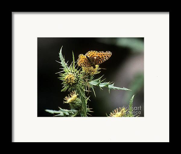 Butterfly Framed Print featuring the photograph Monarch On Thistle by Kathy McClure