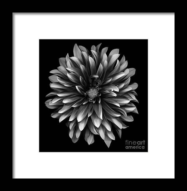 Beautiful Framed Print featuring the photograph Monochrome Dahlia by Oscar Gutierrez