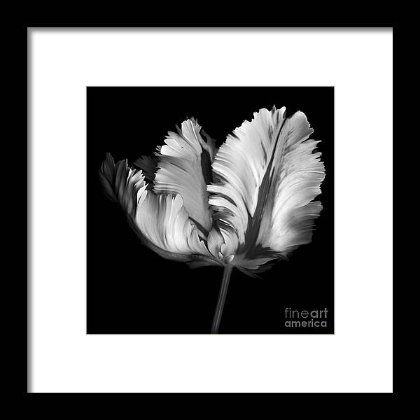 Black Framed Print featuring the photograph Monocrhome Parrot Tulip by Oscar Gutierrez