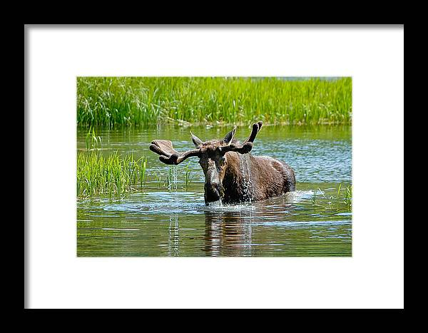 Alces Alces Framed Print featuring the photograph Moose by Don and Bonnie Fink