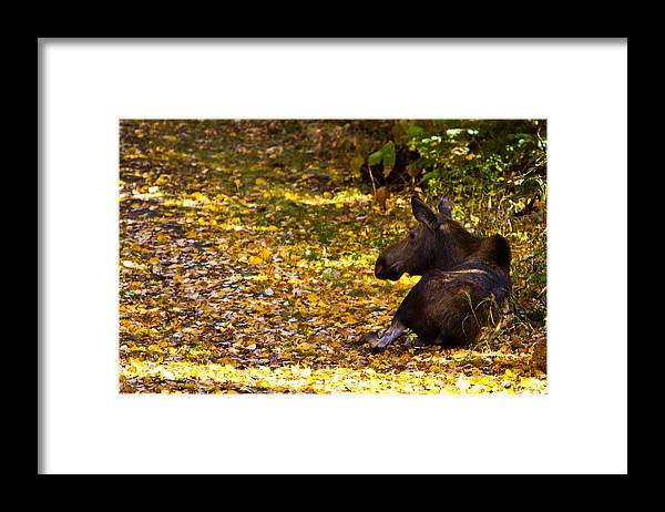 Framed Print featuring the photograph Moose by Richard Jack-James
