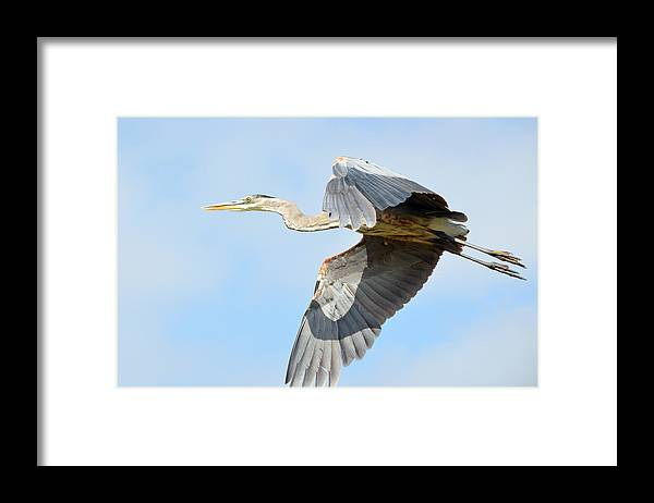 Great Blue Heron Framed Print featuring the photograph Morning Flight by Fraida Gutovich
