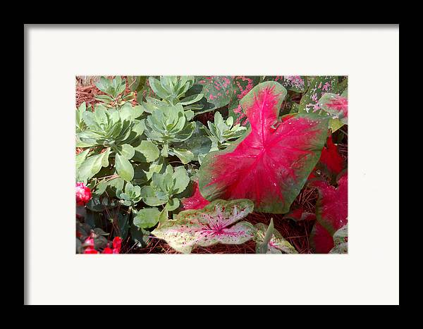 Caladium Framed Print featuring the photograph Morning Rain by Suzanne Gaff