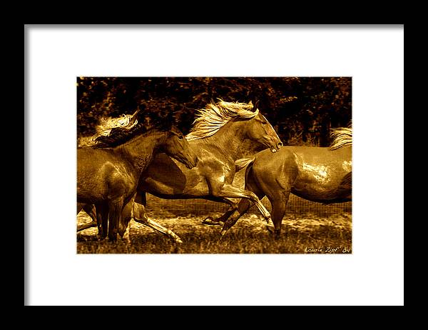 A Herd Of Paso Finos Run In A Pasture On A Ranch Near Santa Fe Framed Print featuring the photograph Morning Run by Lourie Zipf