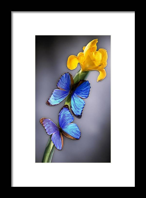 Iridescent Framed Print featuring the photograph Morpho On Yellow Iris by Kirk Ellison