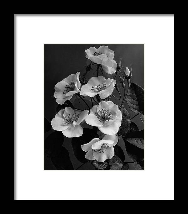 Flowers Framed Print featuring the photograph Moschata Alba by J. Horace McFarland