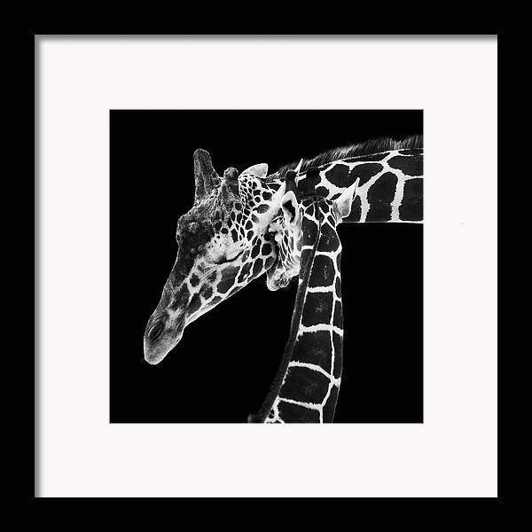 3scape Photos Framed Print featuring the photograph Mother And Baby Giraffe by Adam Romanowicz