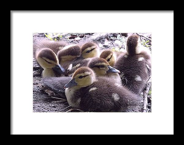 Ducks Framed Print featuring the photograph Mother's Brood by Annette Allman