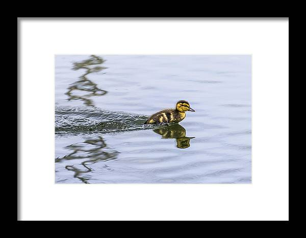 Duckling Framed Print featuring the photograph Motor Boat by Will Bailey