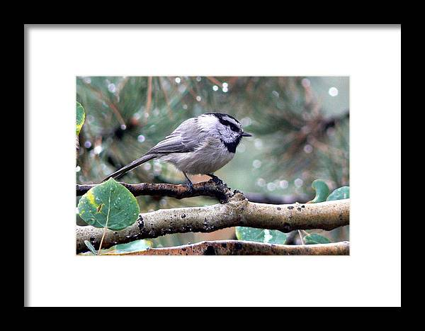 Colorado Framed Print featuring the photograph Mountain Chickadee On A Rainy Day by Marilyn Burton