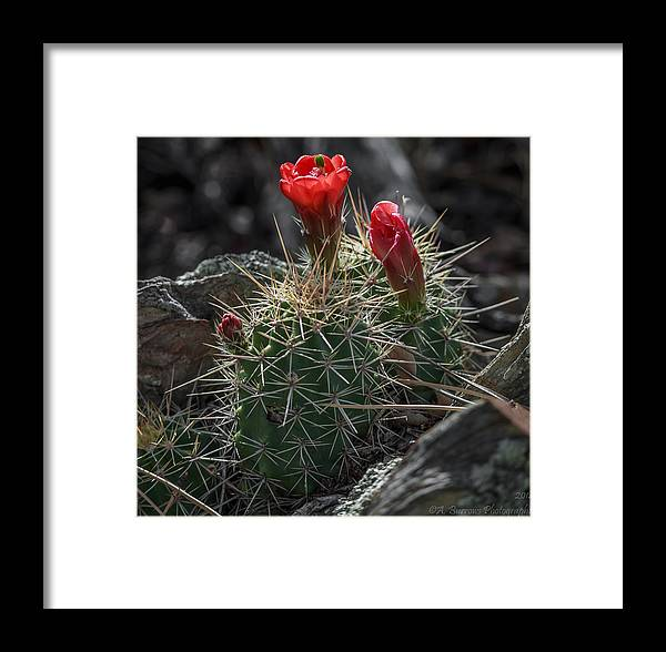 Echinocereus Triglochidiatus Framed Print featuring the photograph Mountain Claret-cups by Aaron Burrows
