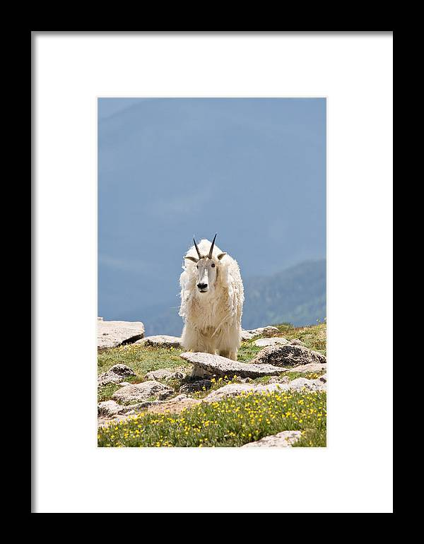 Mountain Goat Framed Print featuring the photograph Mountain Goat Portrait by Jaci Harmsen