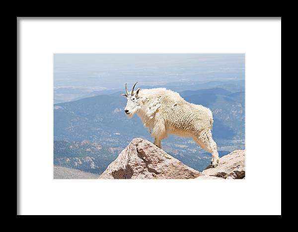 Mountain Goat Framed Print featuring the photograph Mountain Goat Up High by Jaci Harmsen